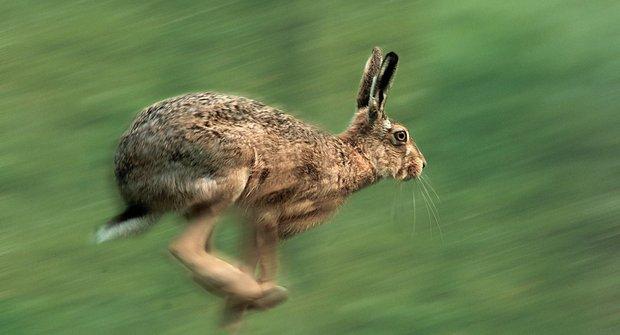 13 ušatých rekordmanů: Zajíci a králíci celého světa