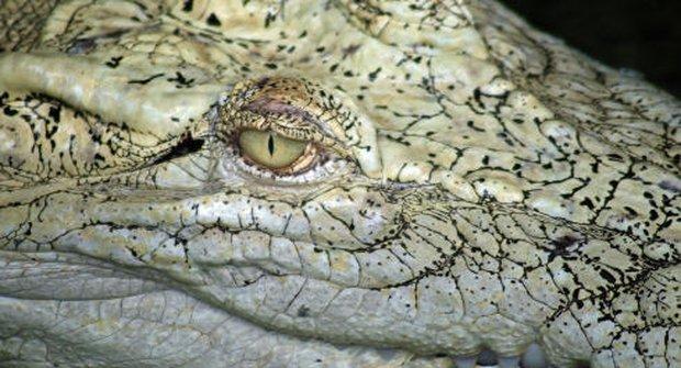 Krokodýl mořský: Nebezpečný surfař