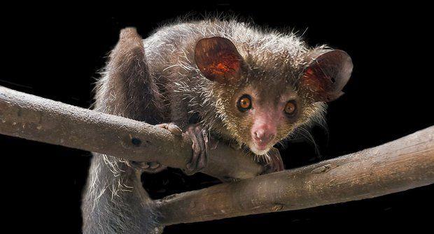 Záhadný ksukol: Primát s tváří veverky