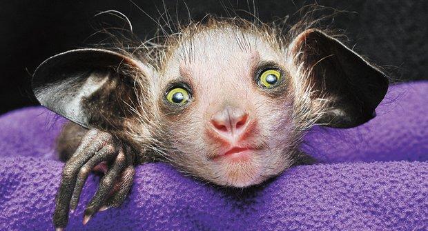 Ksukolův palec: Nejpodivnější primát světa je ještě divnější