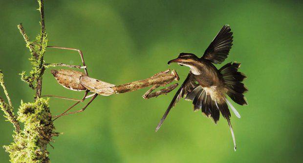 Krutý predátor: Kudlanky na lovu kolibříků