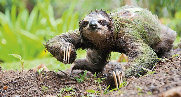Zmatky s lenochody: Evoluce vzhůru nohama