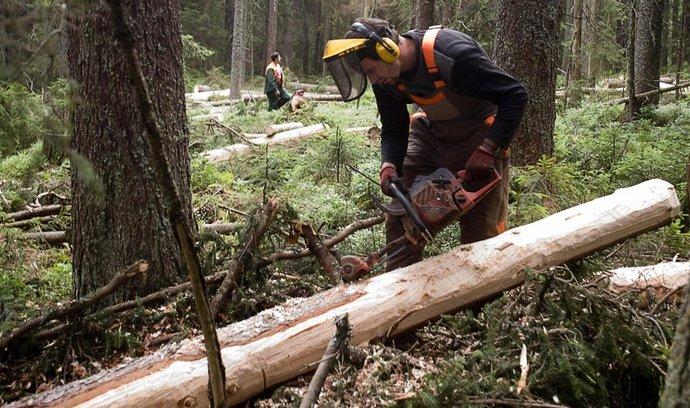 Lesní dělník odkorňuje smrk napadený kůrovcem