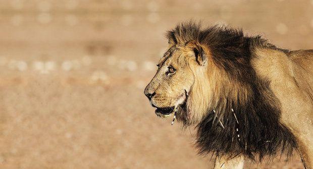 Lvi vs. dikobrazi: Jak se ze lva stane lidožrout