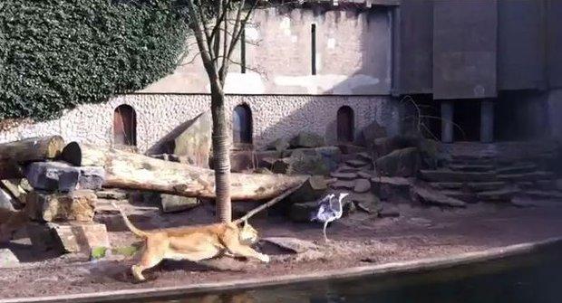 Krutá příroda: Volavka nerozdýchala výlet do lvího výběhu