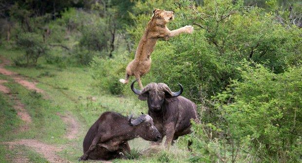 Létající lev, zuřící býk! Buvol nabral a vyhodil dravce do vzduchu