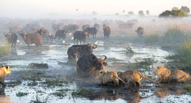 Drama v Okavangu: Útěk ze smrtícího sevření