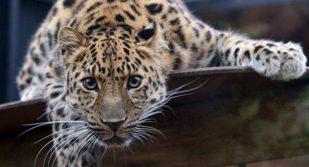 Kočka Dálného východu: Levhart mandžuský