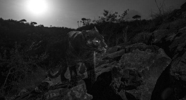 Černý panter: Po 100 letech znovu vAfrice
