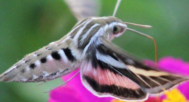Neobyčejný noční motýl: Můra prchá před netopýry
