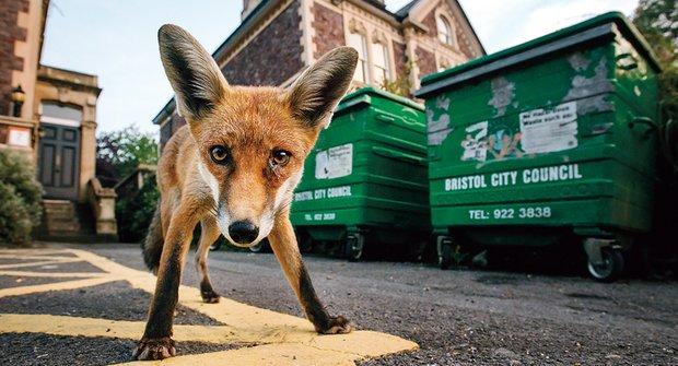 Odpadky jako hostina pro lišky? Nic nového!