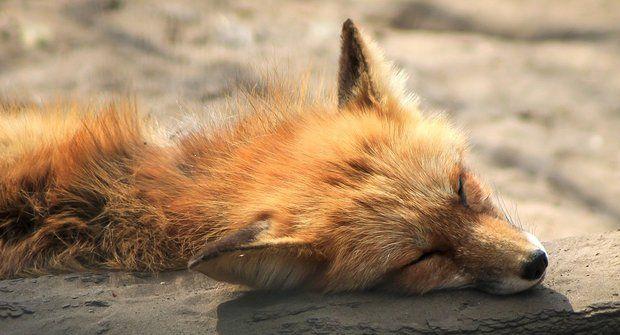 Lišky ve městě: Taky máte nového souseda?