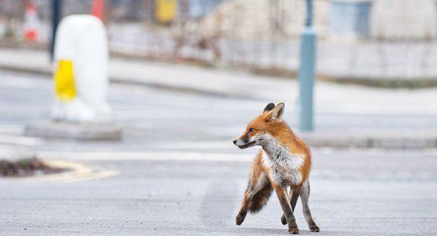 Lišky ve městě: Nový domov divokých zvířat