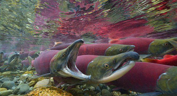 Poslední velká cesta odvážných lososů