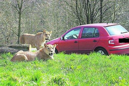 V popředí Khalila se svojí sestrou Tessy si už od začátku jara zvykají na automobilový provoz v africkém safari