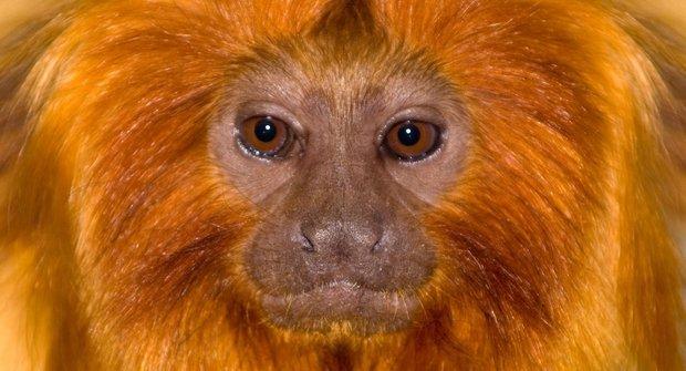 Zlatá opička: Jak lvíček přežil svou smrt