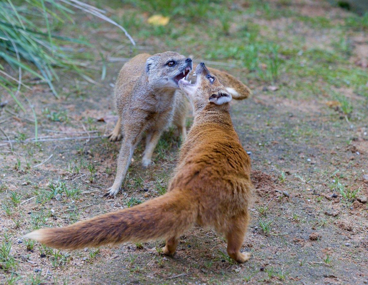 Dvě mangusty si vyjasňují pozici.