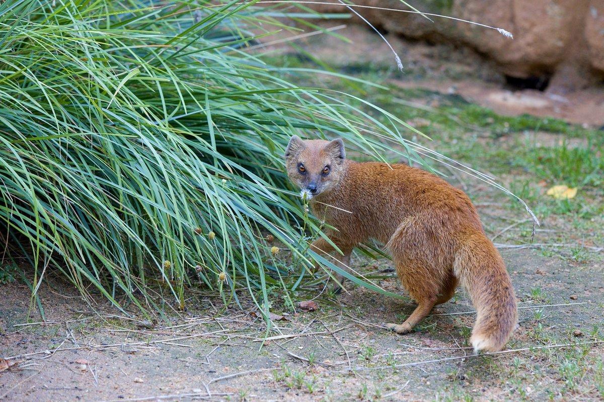 Podle rezaté srsti a hustého ocasu na konci s bílou špičkou získaly tyto mangusty jméno liščí.
