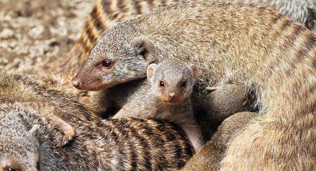 Adrenalinová láska: Kde hledají mangusty partnera