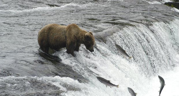 Lososi táhnou, medvědi se radují