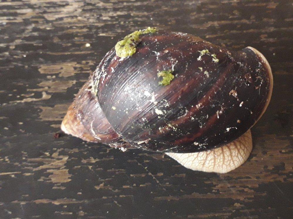 Lisschatina immaculata Lamarck, 1822 ssp. immaculata