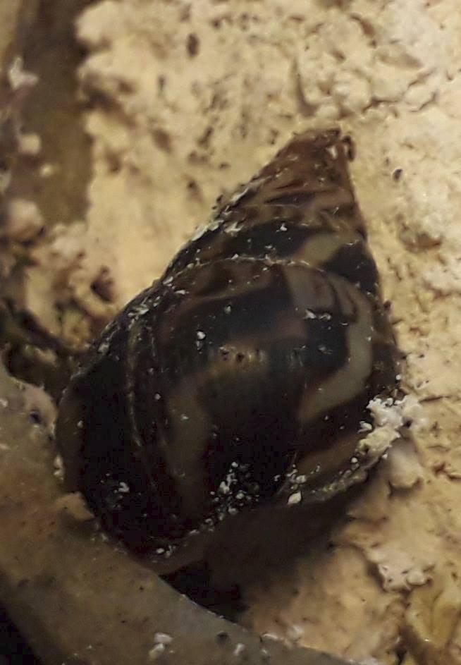 Limicolaria numidica Reeve 1848