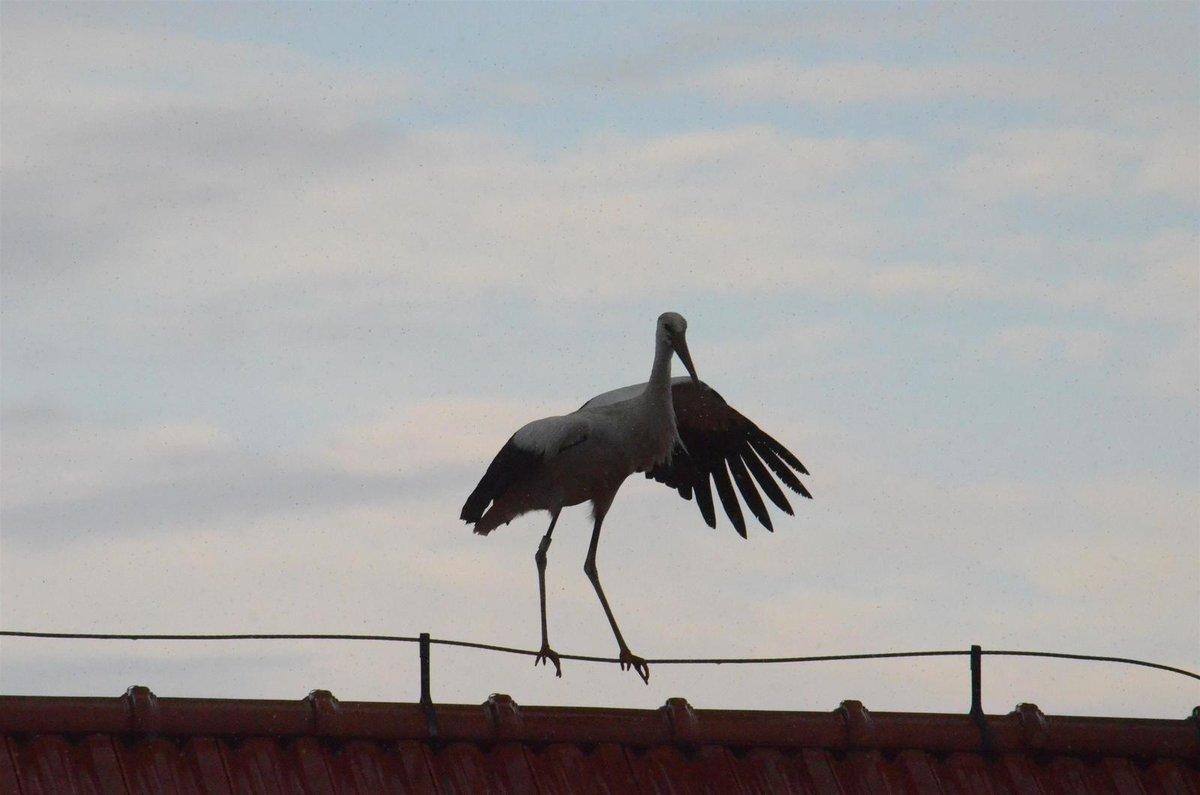 Pták balancoval několik minut, aniž by dokázal vzlétnout.