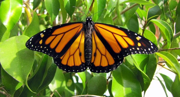 Motýlí cestovatelé