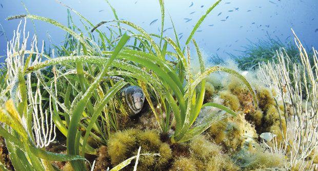 Tajemství mořských trav: Vědci odhalili, proč mají okřídlená semínka