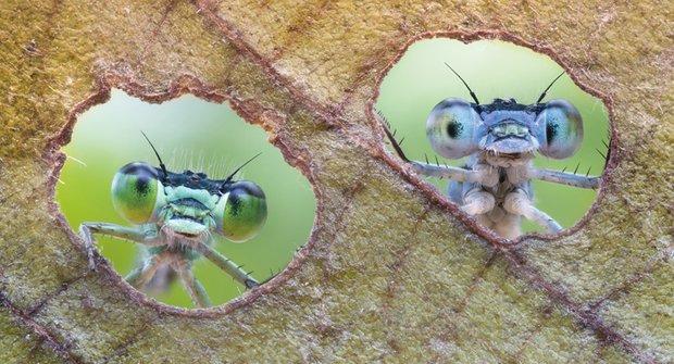 Jedinečný pohled: Motýlice koukají skrz housenkami vykouseané díry v listu