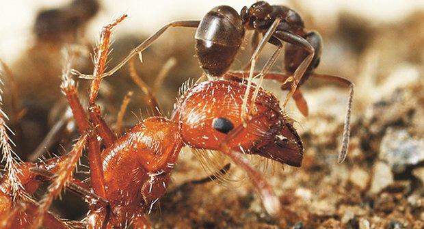 Chemičtí mravenci: Nebezpečné zbraně