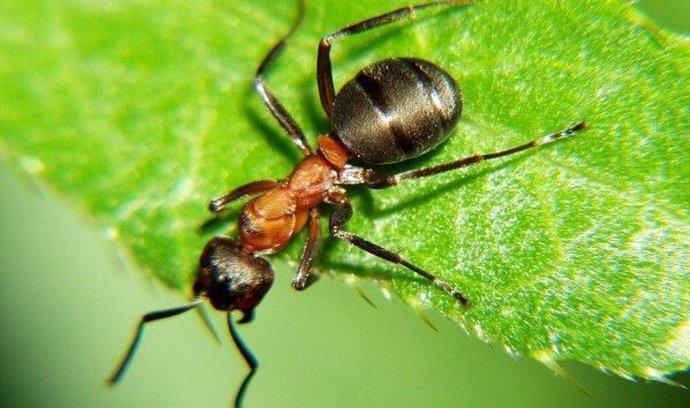 Mravenec, ilustrační foto