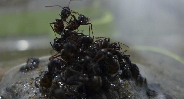 Přizpůsobiví mravenci si staví živé rafty