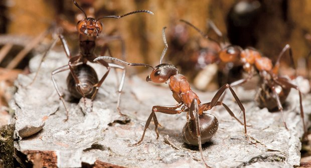 Malí chemici: Mravenci snižují riziko infekce kyselinou
