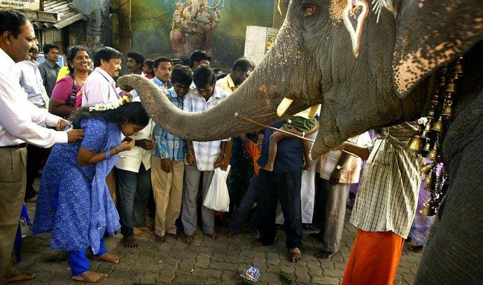 Na mnoha místech Indie se chrámoví sloni účastní náboženských slavností a festivalů. (Foto: Profimedia)