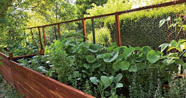 Letos do zahrady přibyl velký  vyvýšený záhon. Na něm se dobře daří zelenině i bylinkám