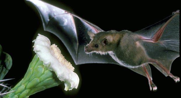 Přátelé květin: Přičichnou si i netopýři