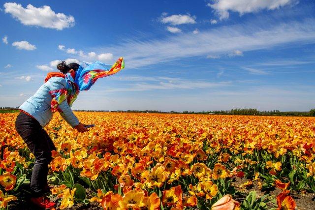 Nizozemské pole tulipánů. Kdy by země tulipánů, byla bez nás?