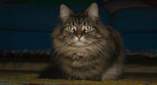 Kočičí plemena: Norská lesní kočka, tajemná micina Vikingů