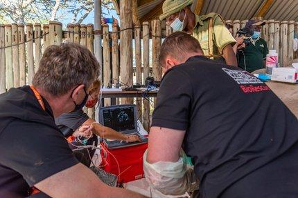 Vědci v Keni při vyšetření jedné ze samic a odběru vajíček.