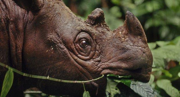 Ve stínu sopky: Nejvzácnější nosorožec na světě