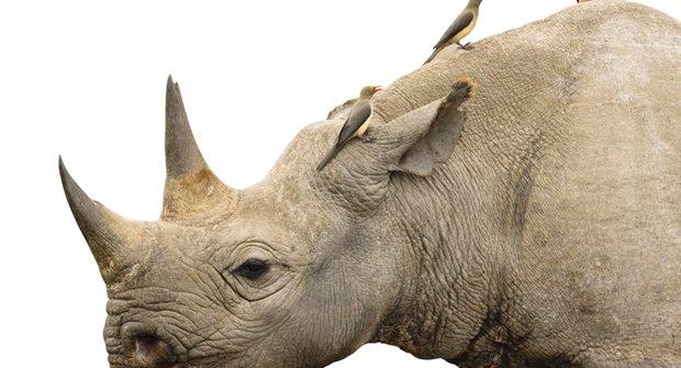 Strážci nosorožců: Jak ptáci bojují proti pytlákům