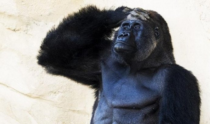Ó, gorila mia