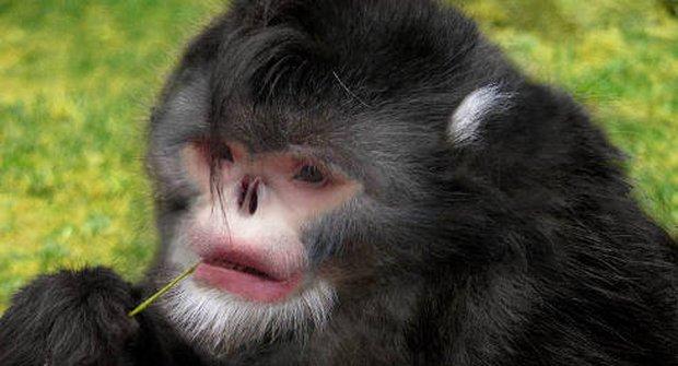 Nový druh opice k večeři