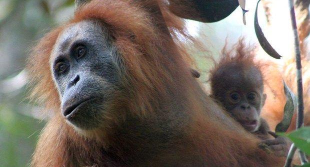 Nový druh orangutana: Ohrožený objev