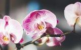 Skvostné orchideje. Vypěstujte si tuto nádheru doma