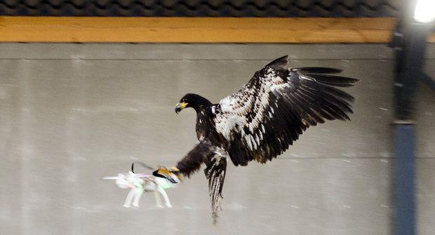 Jak orlové chytají drony?