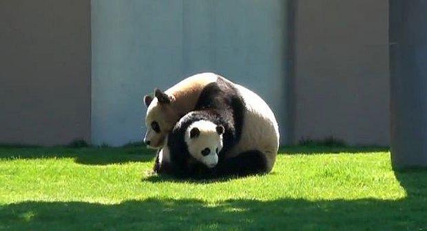 Panda wrestling: Nic roztomilejšího neuvidíte