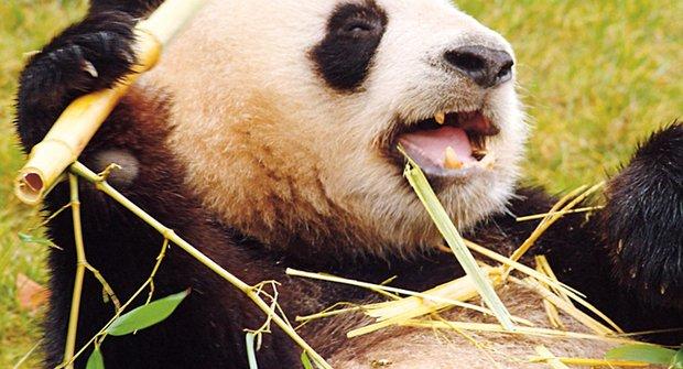 Pandy a neuvěřitelná bambusová dieta