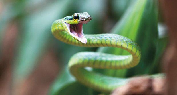 Vražedná houba zabíjí žáby i hady po celém světě